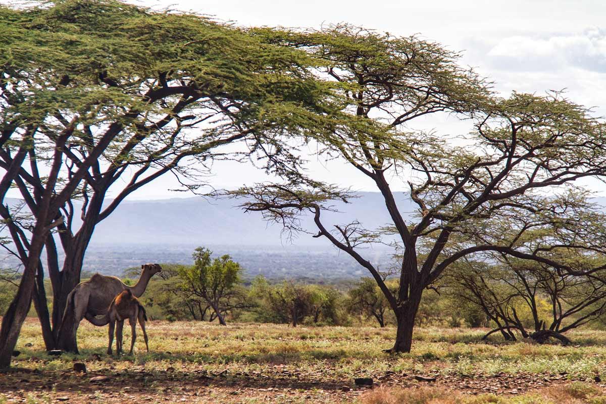 Camellos en Turkana