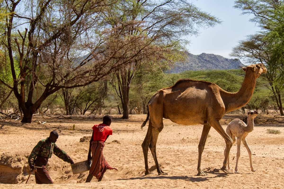 Camellos alimentados en Turkana